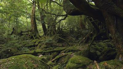 Tags: vegetation, plant, moss, rainforest, land, outdoors, nature, tree, woodland, grove