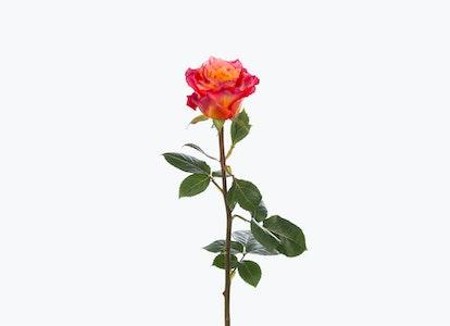 Pink & Orange Roses: Pink Garden Rose Bouquet-BloomsyBox - Image#2793731