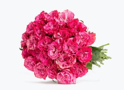 Magenta Roses: Magenta Garden Roses - Image#2793741