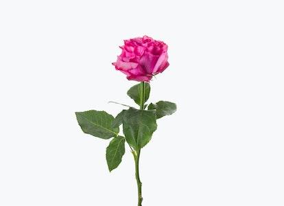 Magenta Roses: Magenta Garden Roses - Image#2793743