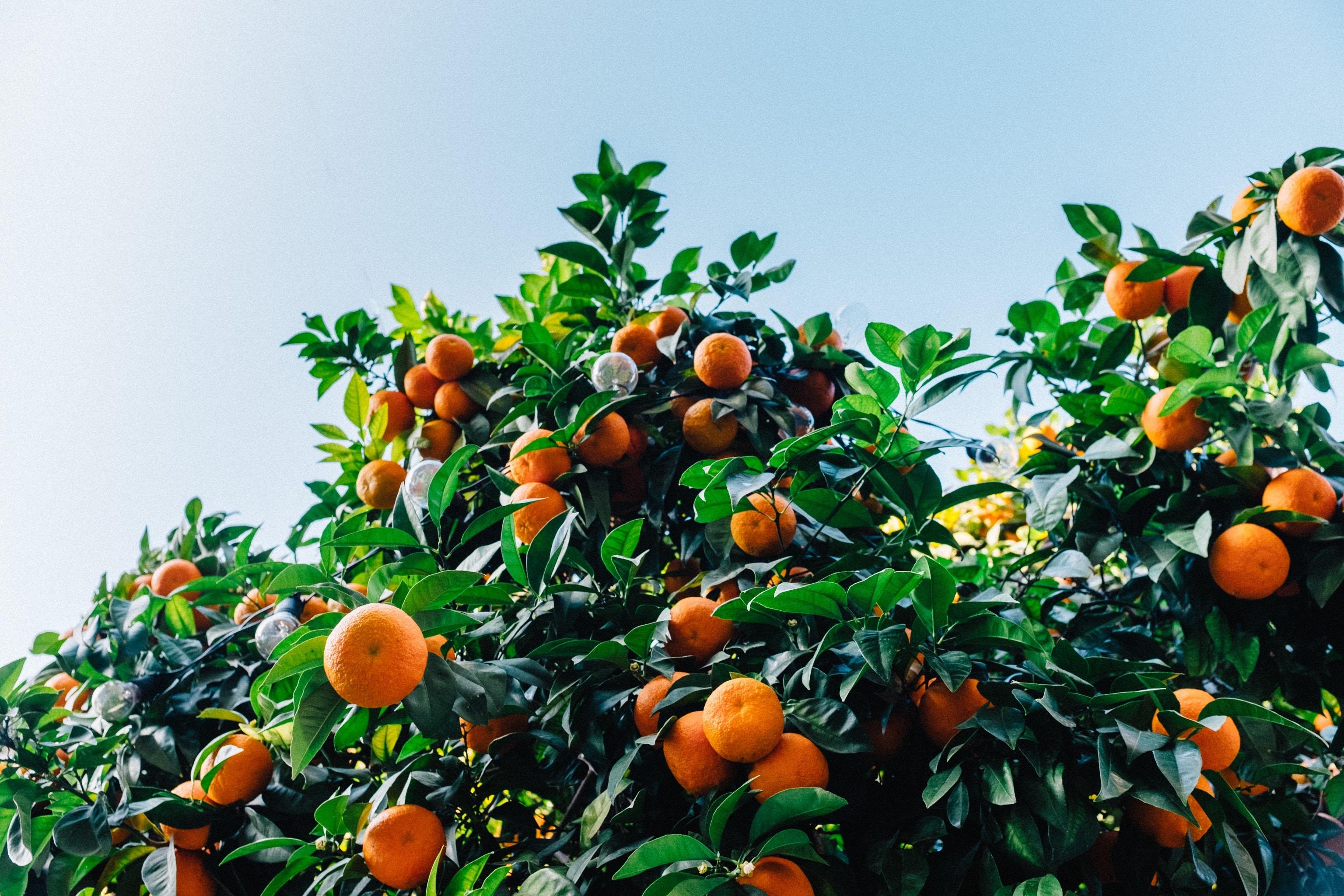 Mandarin organes