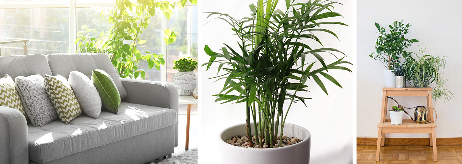 Three images: Houseplants in Living Room, Potted houseplant and a variety of houseplants on a stool with a watering can