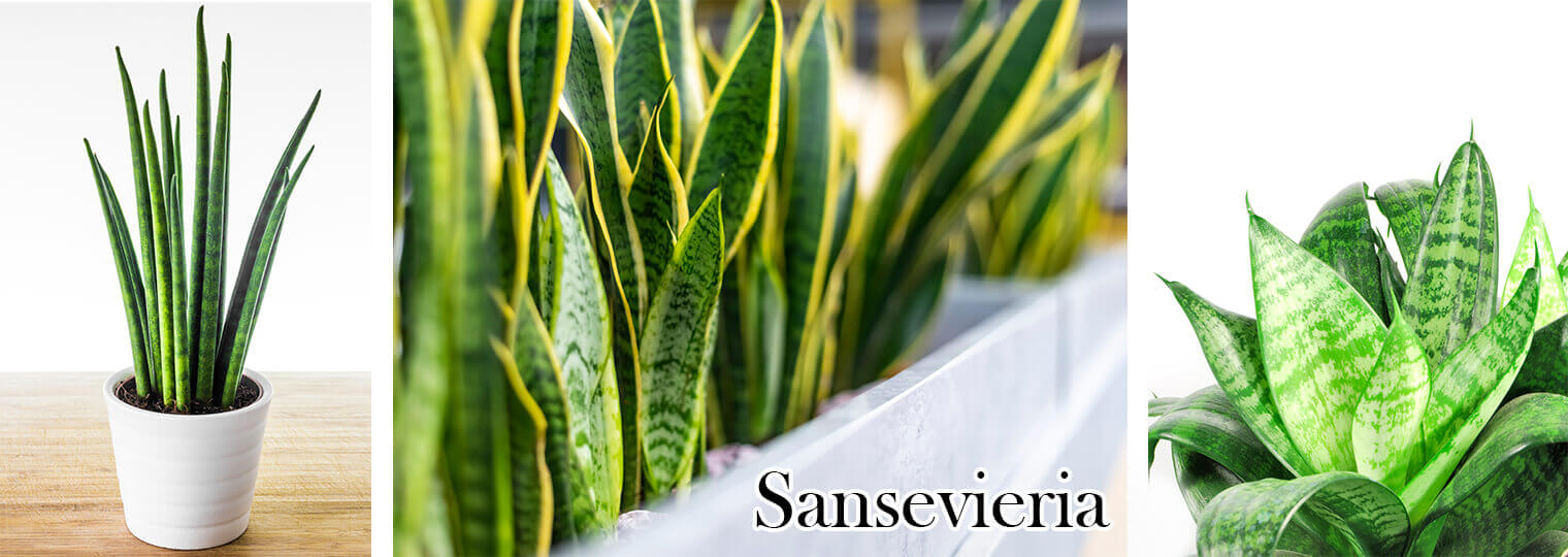 3 pictures of different varieties of Sansevieria (snake plants) houseplants