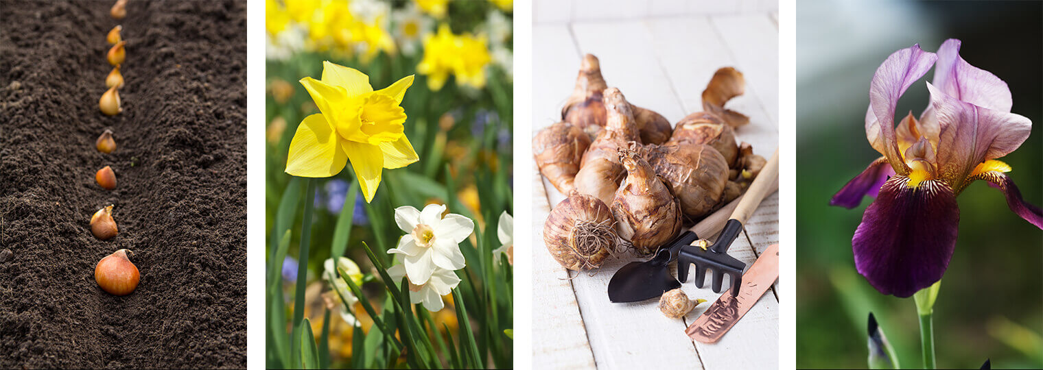 4 images: bulbs lined up for planting in the dirt; yellow and white narcissus flowers; flower bulbs and hand tools on a white wood surface; and a purple iris in bloom
