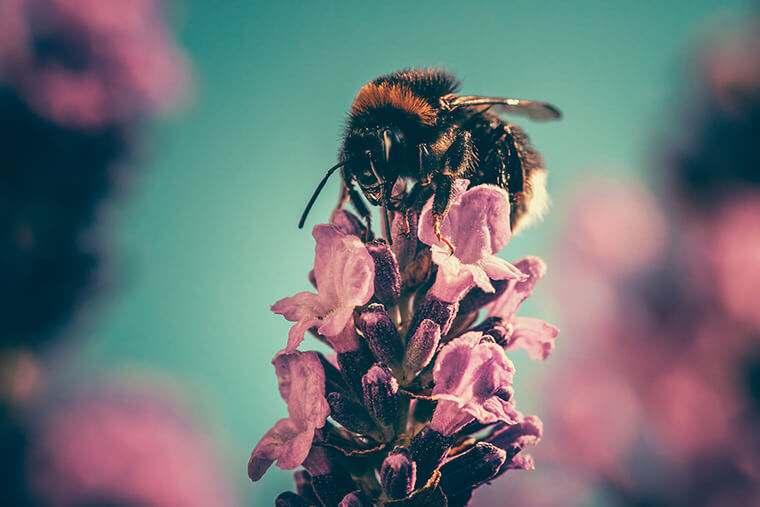 Close up of a bee sitting on top of a pink flowe