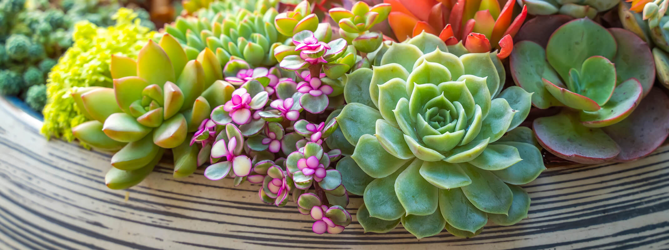 Colorful selection of succulents spilling over in a striped low  bowl