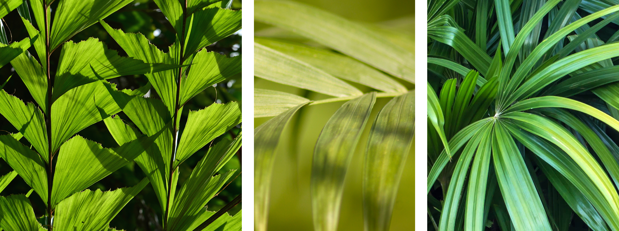 Fishtail Palm, Rhapis Palm and Kentia Palm