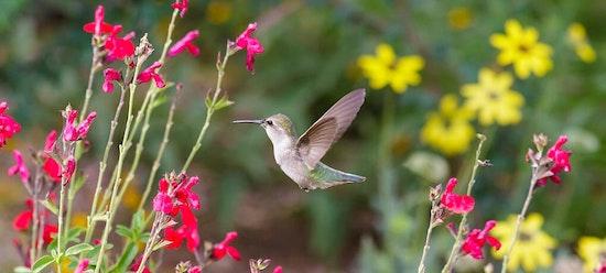 Hummingbird in flowers