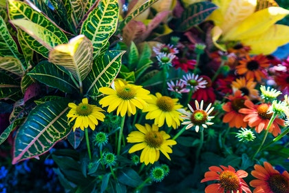 Crotons and coneflowers in a variety of colors