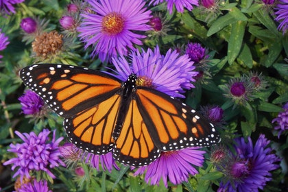 Montarch butterfly with purple aster flowers