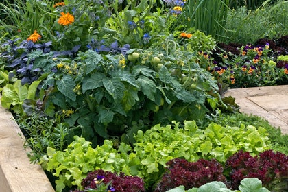 Vegetables, edible flowers and companion plants in raised bed garden.
