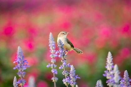 salvia_with_brown_white_bird_pink_background
