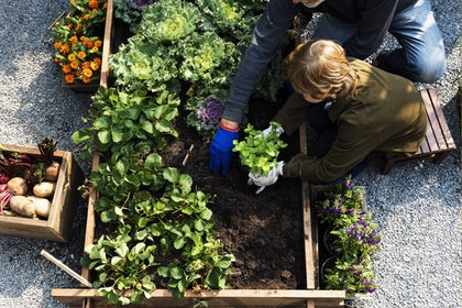 Photo of boy planting vegetables in a raised garden bed with an adult helping him.
