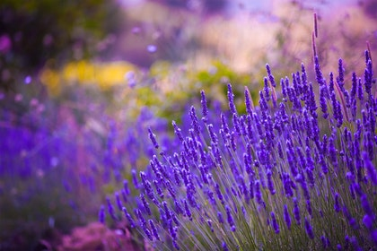 closeup of lavender in garden with colorful blurred background