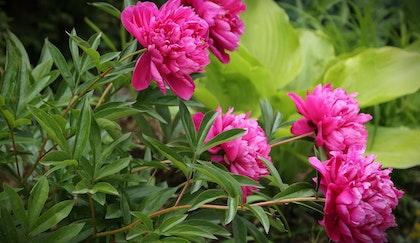Pink peonies in garden with hosta in background