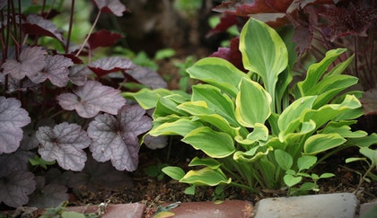 Perennials that thrive in the shade, which include hostas and heuchera.