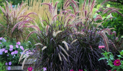 Ornamental grasses surrounded by complimentary flowers