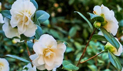 Creamy white Camellia shrub with lovely blooms