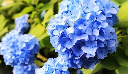 Blue Hydrangeas blossoms up close