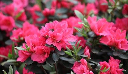 Dark pink Azalea shrub up close to show brilliant blooms and deep green foliage