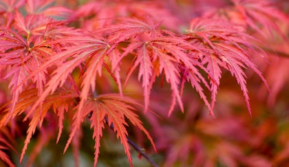 Japanese Maples red branch close up