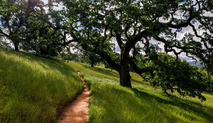 California Oak tree on the side of a rolling hill of grass casting a nice shadow and providing shade with a walking path next to it