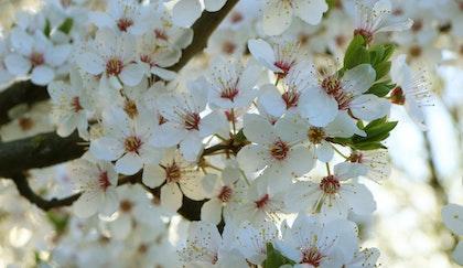 Flowering Akebono Cherry tree branch close up