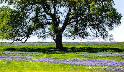 California Oak tree in meadow of purple flowers