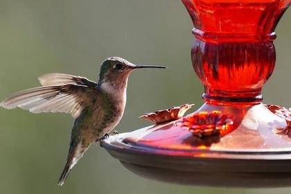 Hummingbird on red hummingbird feeder