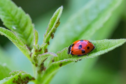 Lady bug on leaf with aphids nearby