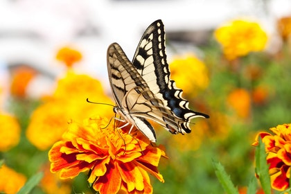 Swallowtail Butterfly on Marigold
