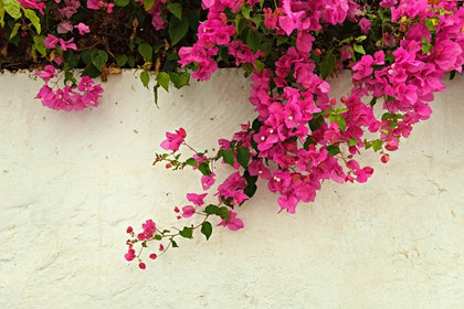 pink bougainvillea growing on white wall