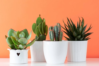 four potted succulent and cactus plants in white pots