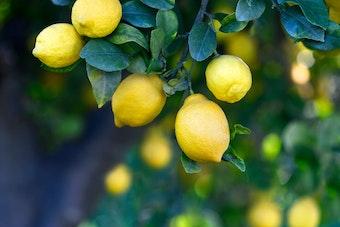 Closeup of numerous lemons growing on a tree