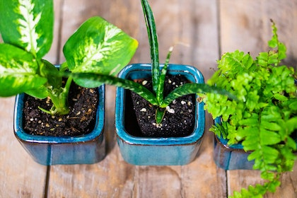 a variety of three different houseplants all potted in small blue pots