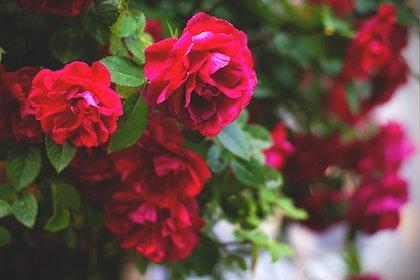 red floribunda rose bush