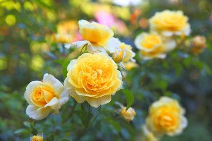 Yellow Rose Bush in garden