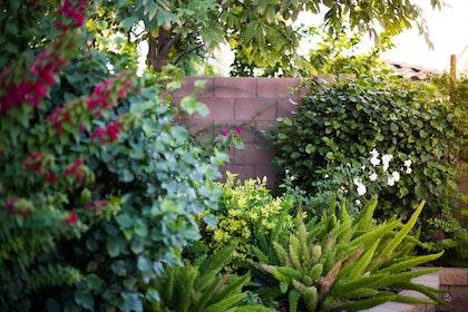 shrubs assorted - bougainvillea asparagus fern roses az