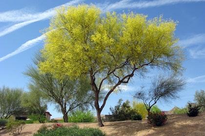 tree palo verde fabaceae parkinsonia microphyllum