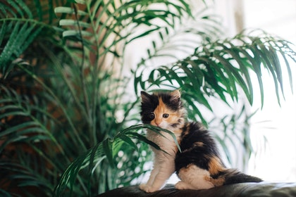 Majesty palm plant with kitten - indoors