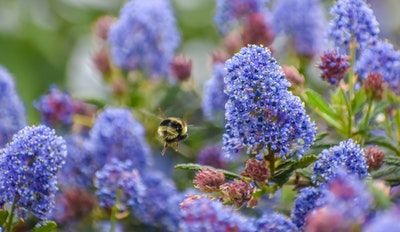California Native called Ceanothus or Wild Lilac with a pollinator honey bee buzzing around