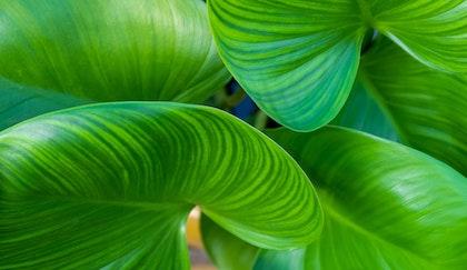 Tropical houseplant, elephant ears leaves up close