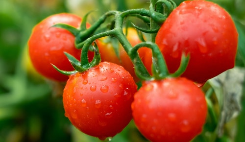 Hybrid tomatoes fresh on the vine