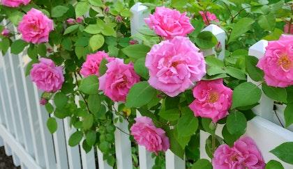 Pink hybrid tea roses bloom through white picket fence