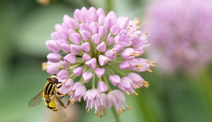 Allium bloom, a spring bulb flowering with a pollinator bee looking for nectar