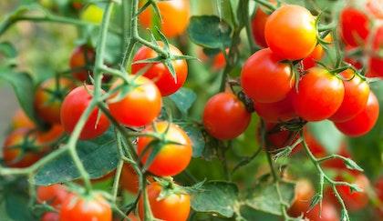 Cherry tomatoes fresh on the tomato plant