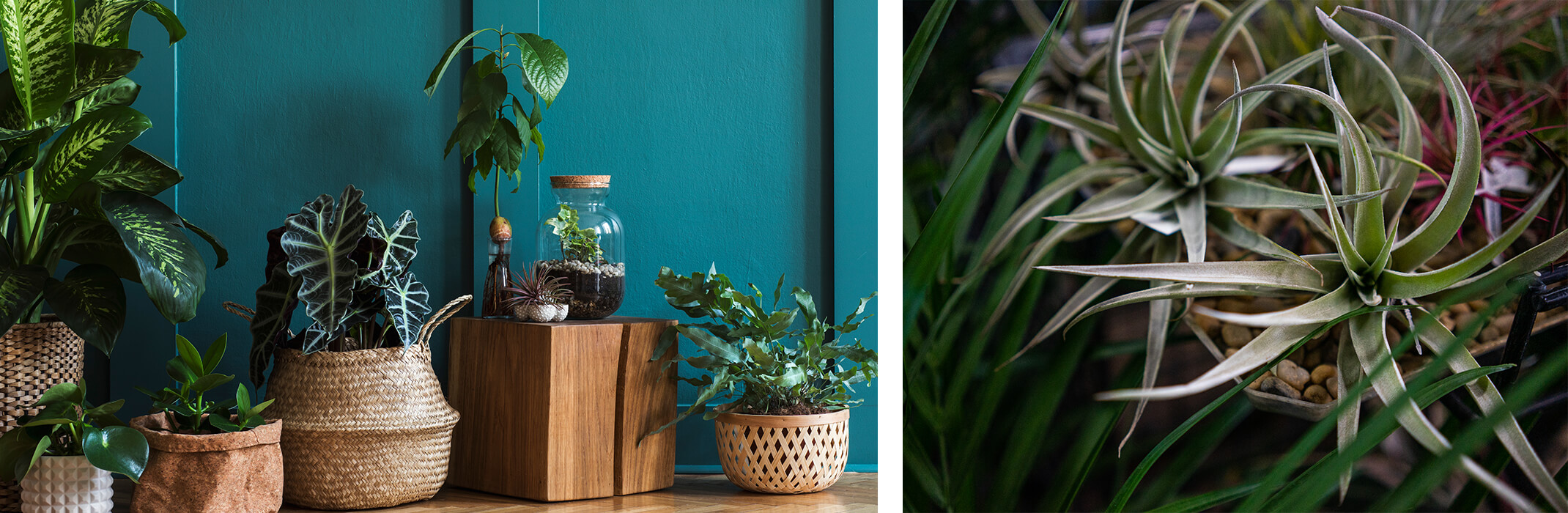 2 houseplant images: left - a vareity of houseplants against a deep teal blue wall; right - a closeup of tillandsias and a palm houseplant