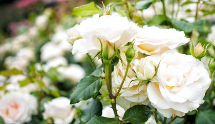 White roses in garden surrounded by many more white roses and some light pink roses