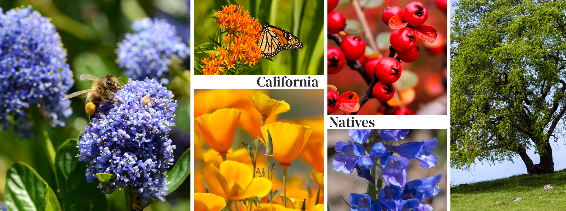 California Natives with celosia and a pollinator bee, Milkweed with a Monarch Butterfly, California Poppy, Penstemon, Toyon and California Oak Tree