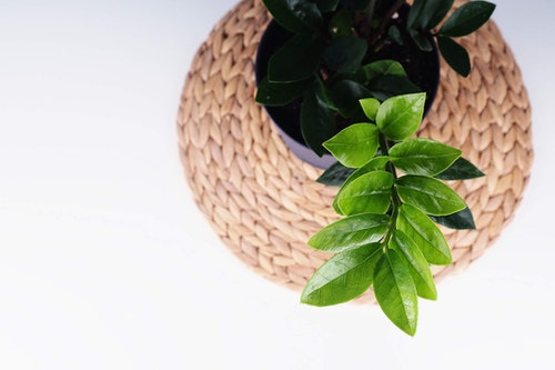 Potted ZZ Plant on modern woven grass round seat
